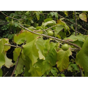Vangueria madagascariensis J.F. Gmel. (Néflier des Indes)