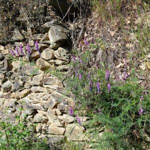 Photographie n°465886 du taxon Vicia cracca L. [1753]
