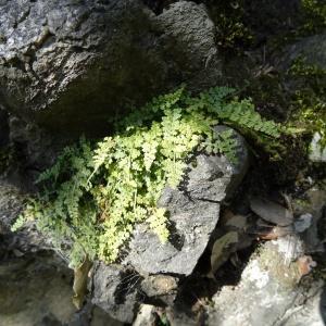 Photographie n°466925 du taxon Asplenium adiantum-nigrum L.