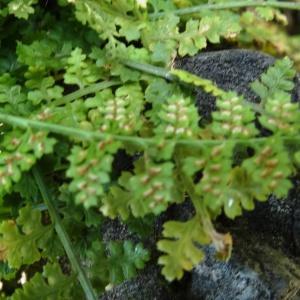 Photographie n°466926 du taxon Asplenium adiantum-nigrum L.