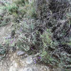 Photographie n°466935 du taxon Lavandula stoechas subsp. stoechas