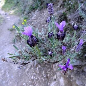 Photographie n°466936 du taxon Lavandula stoechas subsp. stoechas