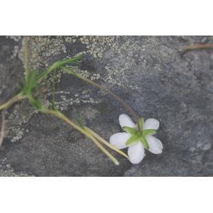 Sagina glabra (Willd.) Fenzl (Sagine glabre)