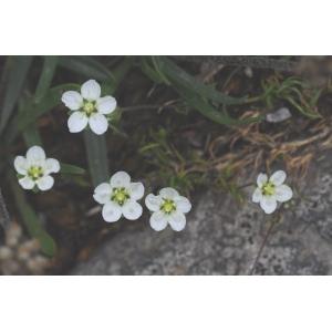 Sagina glabra (Willd.) Fenzl [1833] (Sagine glabre)