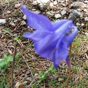 Photographie n°475692 du taxon Aquilegia vulgaris subsp. vulgaris