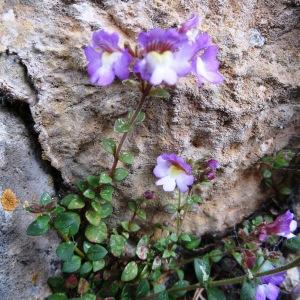 Photographie n°476165 du taxon Chaenorhinum origanifolium (L.) Kostel. [1844]