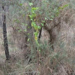 Photographie n°489530 du taxon Bryonia cretica subsp. dioica (Jacq.) Tutin [1968]