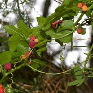 Photographie n°489662 du taxon Bryonia cretica subsp. dioica (Jacq.) Tutin [1968]