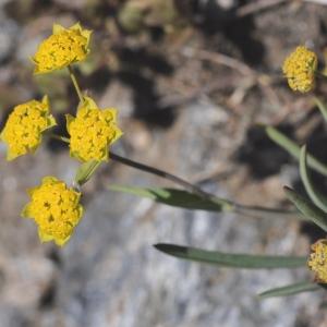 Photographie n°498654 du taxon Bupleurum ranunculoides L.
