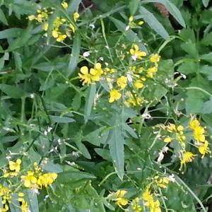 Photographie n°499822 du taxon Rorippa sylvestris (L.) Besser