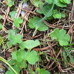 Photographie n°501398 du taxon Saxifraga granulata L.