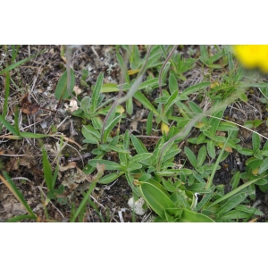 Pilosella glacialis (Reyn.) F.W.Schultz & Sch.Bip. (Piloselle des glaciers)
