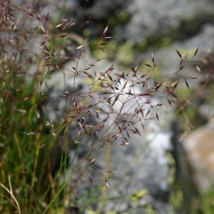 Photographie n°512218 du taxon Agrostis rupestris All. [1785]