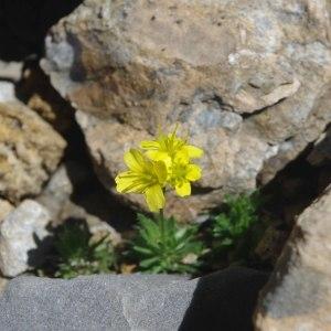 Photographie n°512220 du taxon Draba hoppeana Rchb.