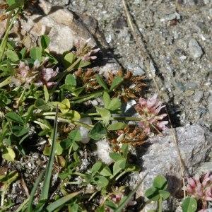 Photographie n°512227 du taxon Trifolium thalii Vill. [1779]