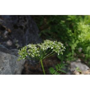 Anthriscus nitida (Wahlenb.) Hazsl. (Cerfeuil alpestre)