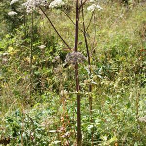 Photographie n°523991 du taxon Angelica sylvestris L. [1753]