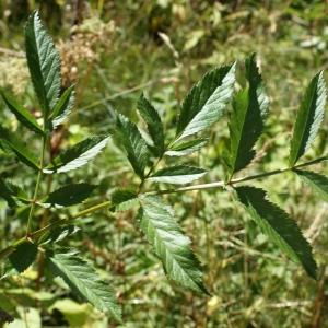 Photographie n°523994 du taxon Angelica sylvestris L. [1753]
