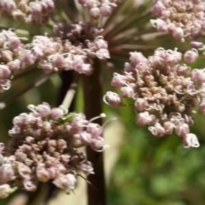 Photographie n°523998 du taxon Angelica sylvestris L. [1753]