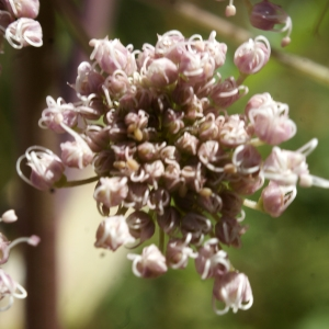 Photographie n°523999 du taxon Angelica sylvestris L. [1753]