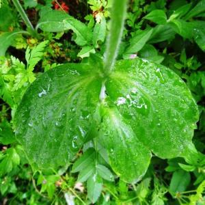Photographie n°542647 du taxon Silene dioica var. dioica