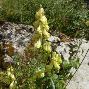 Photographie n°542696 du taxon Aconitum vulparia Rchb. [1819]