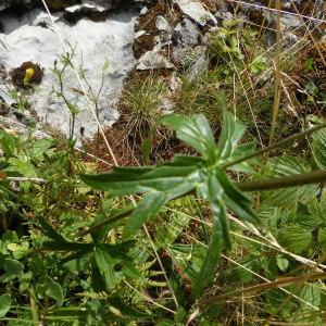 Photographie n°542699 du taxon Aconitum vulparia Rchb. [1819]