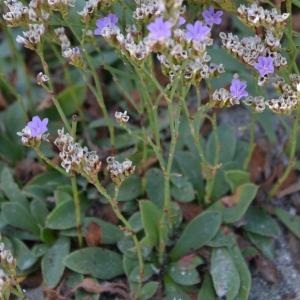 Limonium sp. (Saladelle)