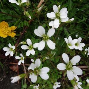Photographie n°570799 du taxon Saxifraga granulata L.