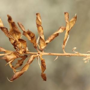 Photographie n°573643 du taxon Adenocarpus complicatus (L.) J.Gay