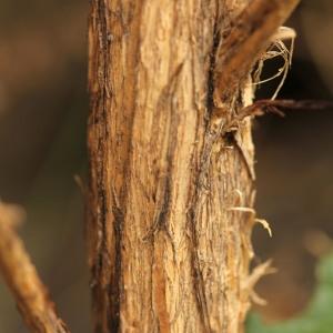 - Adenocarpus complicatus (L.) J.Gay