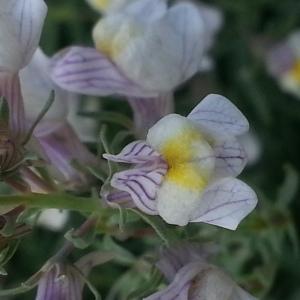 Photographie n°582135 du taxon Linaria striata (Lam.) DC. [1805]