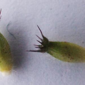Photographie n°585170 du taxon Knautia dipsacifolia (Host) Kreutzer [1840]