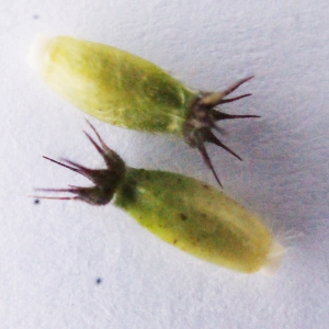 Photographie n°585171 du taxon Knautia dipsacifolia (Host) Kreutzer [1840]