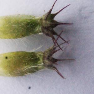 Photographie n°585172 du taxon Knautia dipsacifolia (Host) Kreutzer [1840]