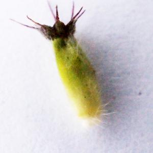 - Knautia dipsacifolia (Host) Kreutzer [1840]