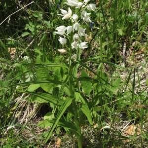 Photographie n°605603 du taxon Cephalanthera longifolia (L.) Fritsch [1888]