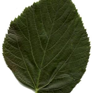 Photographie n°607358 du taxon Tilia platyphyllos Scop. [1771]