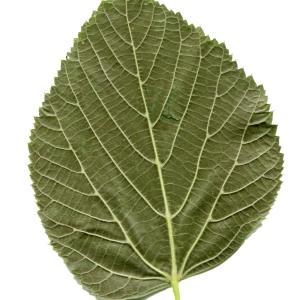 Photographie n°607362 du taxon Tilia platyphyllos Scop. [1771]