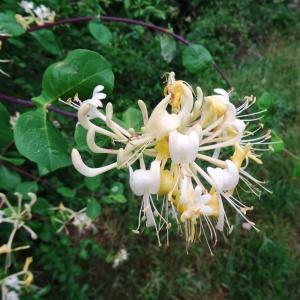 Photographie n°612261 du taxon Lonicera periclymenum subsp. periclymenum