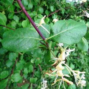 - Lonicera periclymenum subsp. periclymenum