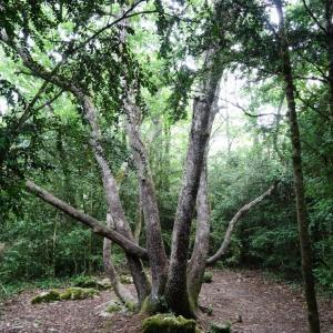 - Quercus petraea subsp. petraea