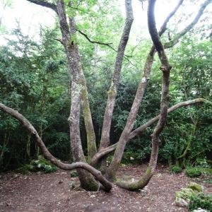 Photographie n°637162 du taxon Quercus petraea subsp. petraea