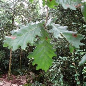 Photographie n°637163 du taxon Quercus petraea subsp. petraea