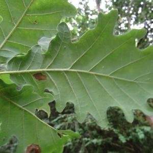 Photographie n°637164 du taxon Quercus petraea subsp. petraea