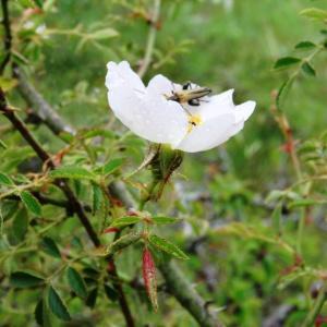 Photographie n°639182 du taxon Rosa canina L. [1753]