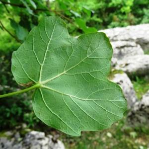 Acer opalus Mill. subsp. opalus (Érable à feuilles d'obier)
