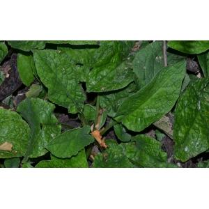 Symphytum caucasicum M.Bieb. (Caucasian Comfrey)