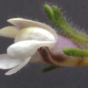 Chaenorhinum minus (L.) Lange (Petite Linaire)