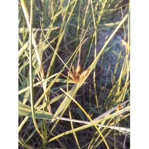 Bolboschoenus maritimus (L.) Palla subsp. maritimus